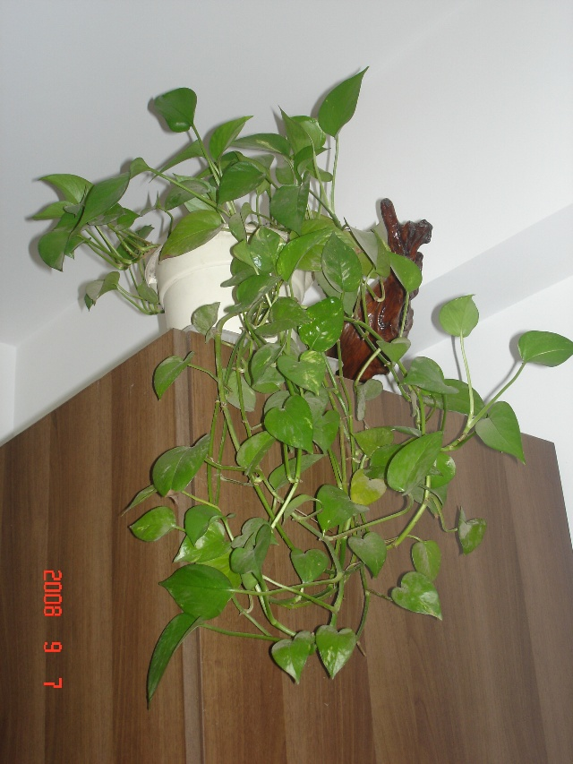 綠蘿,別名黃金葛,天南星科,綠蘿屬多年生草本植物。綠蘿非常好養,它喜愛散射光,耐瘠薄土壤,因此,很適合室內養植。剪枝插入瓶中依然生長。綠蘿不開花,綠蘿葉金綠相間,美麗秀雅,第一次見到綠茵茵的綠蘿就愛上了它。討來一片葉子,幾年間繁衍滿屋。說不清為什么會愛上綠蘿,是它的樸實無華,還是它頑強的生命力,總之那一處處鋪青迭綠的綠蘿,常常給我送來好心情。