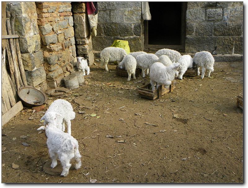 几只可爱的小羊羔