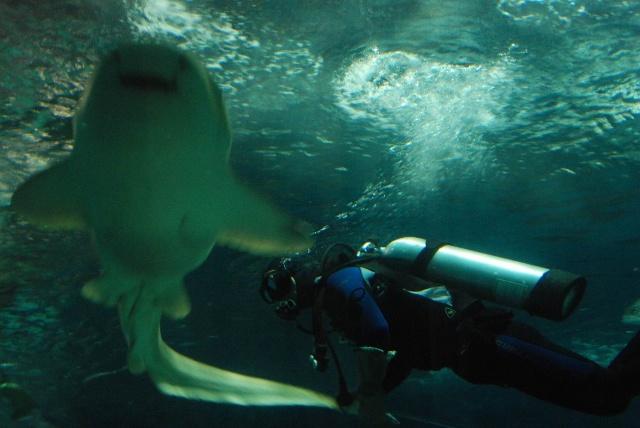 看潜水员给大鲨鱼喂食啦