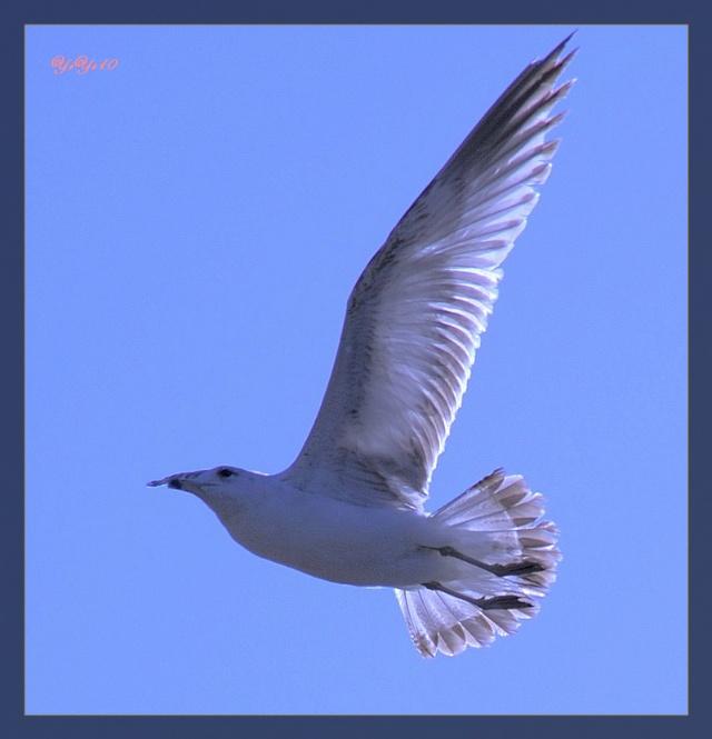 【原创】海鸥(摄影)