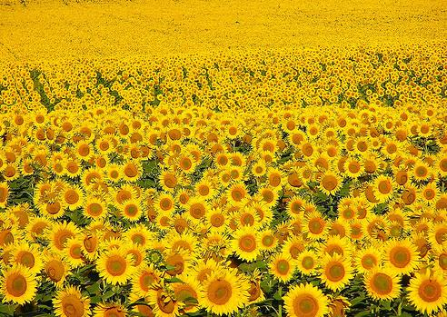 梵高的向日葵 寄身流水 我的搜狐 图片 76.jpg 492x349-梵高的向日葵图