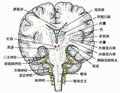 大脑半球的内部结构 系统解剖