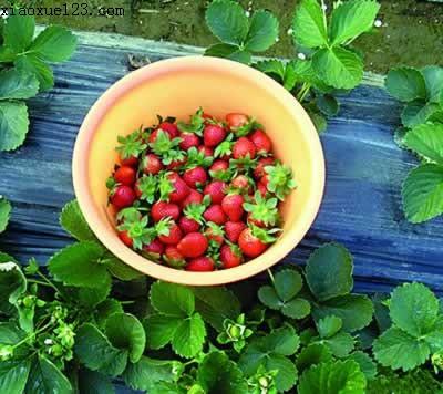 摘草莓图片