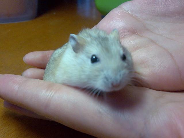 [小仓鼠日记]再见了,小布丁