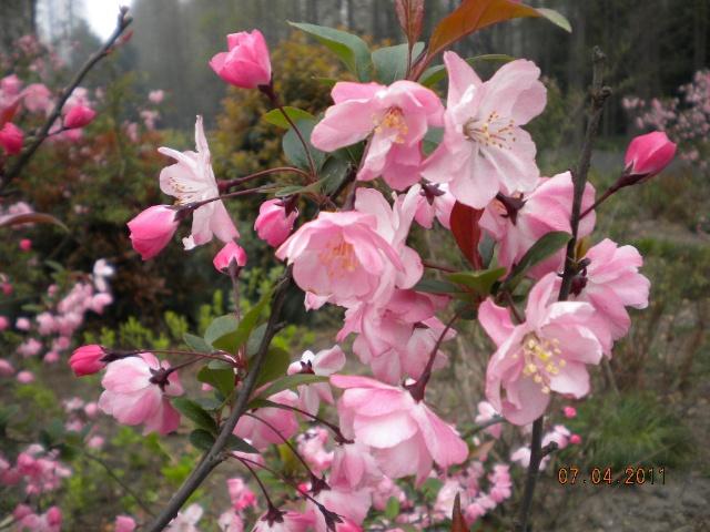 樱花枝条如何水培生根